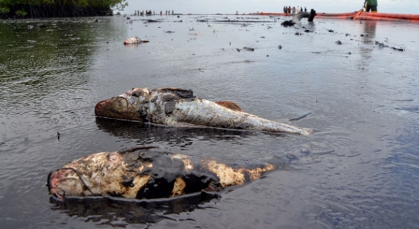 Picture 4 Effects Of Oil Spill Cited; http://www.sickchirpse.com/oil-spill-trinidad-and-tobago-kills-fish/